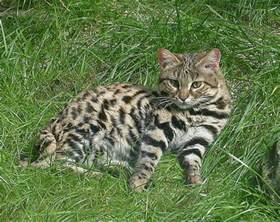 black footed cat the black footed cat small and vulnerable