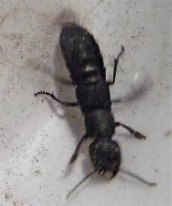 Large Ant Like Insect Ocypus Olens Bugguidenet
