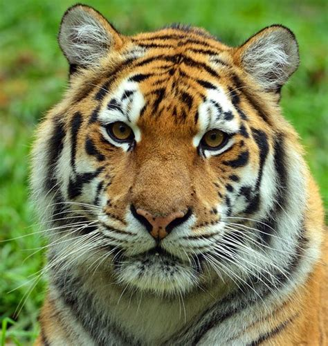 Images Of Faces Images Of Tiger Faces Tiger All Kinds Of Sports