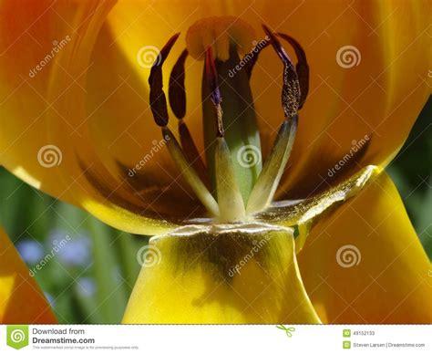 192 l int 233 rieur de la fleur de tulipe photo stock image 49152133