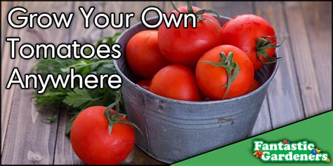 how to grow delicious tomatoes how to grow delicious tomatoes fantastic gardeners aus