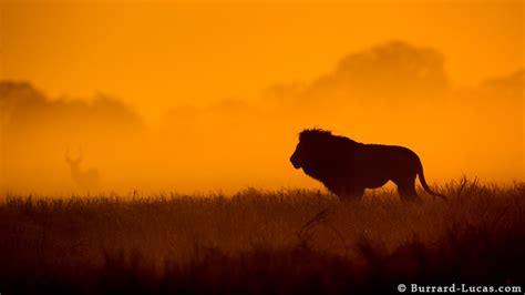 lion  sunrise burrard lucas photography