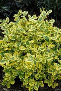 gold splash wintercreeper euonymus fortunei a proven