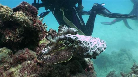 cuttlefish changing color great barrier reef cuttlefish changing colour