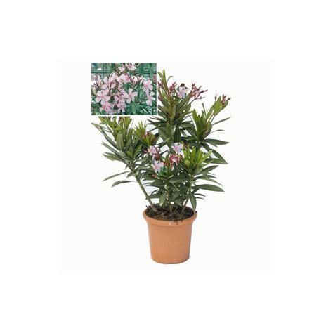 achetez maintenant une plante inspirations et entretien laurier en pot photo