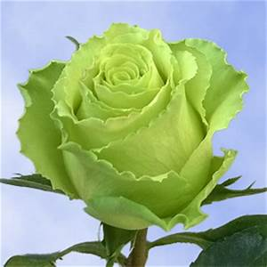 Lime Green Long Stem Roses Wholesale Natural Green Roses