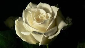 White Roses Black Background