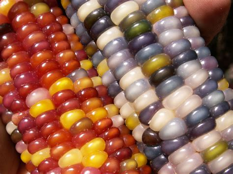 gem glass corn this is glass gem corn it s real and looks amazing 171 twistedsifter