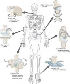 Types of Synovial Joints in the Human Body