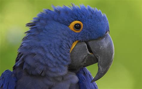 hyacinth macaw full hd wallpaper  background image