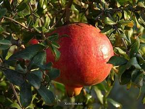 Pomegranate (Anar) Health Benefits - XciteFun.net