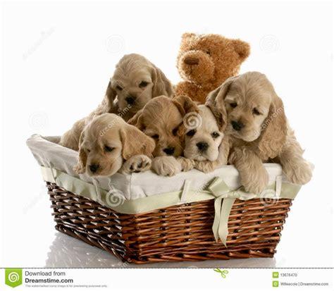 Doberman Puppies Houston Puppies Puppy