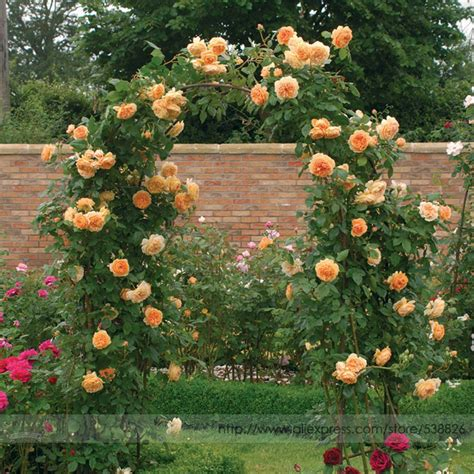 jual benih bunga mawar rambat warna oren climbing orange