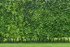 Sichtschutz Pflanzen Pflegeleicht : pflanzen als sichtschutz unsere top 15 f r garten ~ A.2002-acura-tl-radio.info Haus und Dekorationen