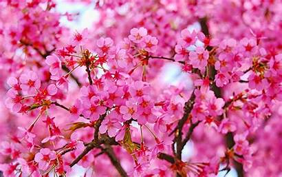 Blossom Flowers Cherry Nature Wallpapers 4k Liberi