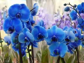 blue dendrobium orchids você conhece a orquídea azul saiba o que essa exótica