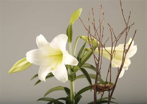 how to take care of a easter easter lily plant care