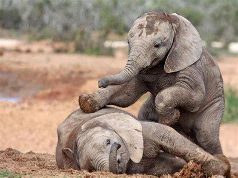 cute baby elephants weneedfun