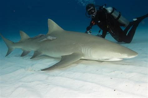 lemon shark sharks  marine life cryptozoology
