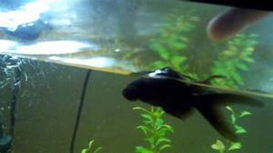 Black Moor Goldfish Playing Dead - YouTube