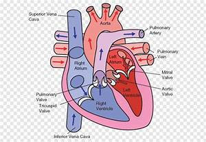 Wiring Diagram Heart Circulatory System Human Body  Heart