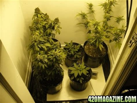 Growing In Closet by Gunjababy S Soil Closet Grow Blueberry And Skunk 1 420