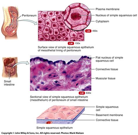 simple squamous epithelium diagram world  reference