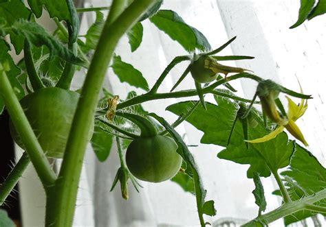 tomaten pflanzen anleitung anleitung tomaten pflanzen