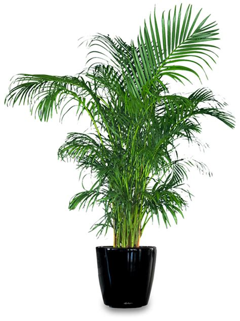 areca palm the enchanted petal stein