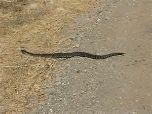 Baby Rattlesnake Southern California