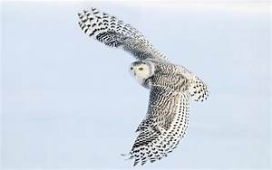 Wallpaper of a flying white owl | HD Animals Wallpapers