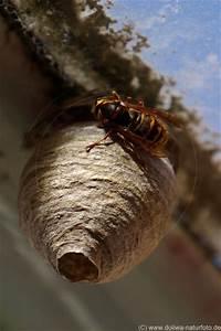 Wespen Unter Dachziegel : wespennest fotos wespenhaus der wespenk nigin hornissen ~ Articles-book.com Haus und Dekorationen