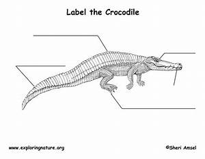 Crocodile Labeling Page