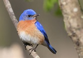 Eastern Bluebird | Wallpapers9