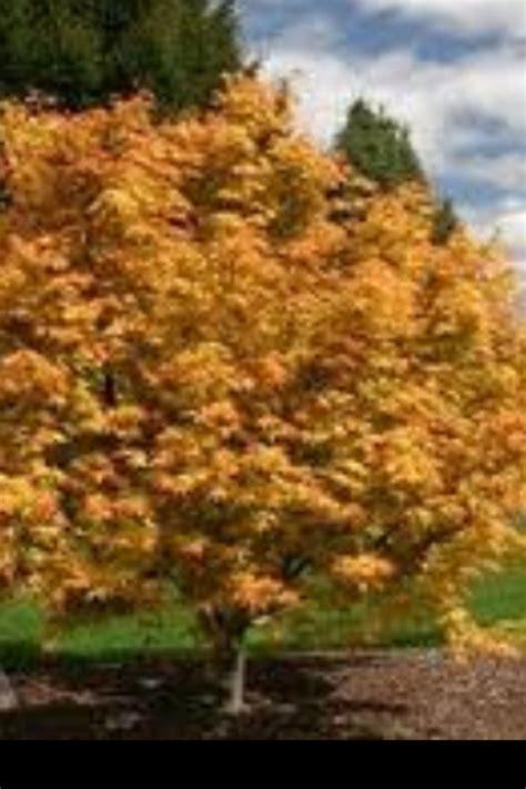orange japanese maple japanese maple orange dream my arboretum pinterest