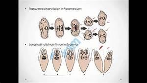 Reproduction In Organisms  Fission  U0026 Fragmentation  Class