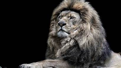 Lion Monochrome Wallpapers Animals 4k Backgrounds 1092