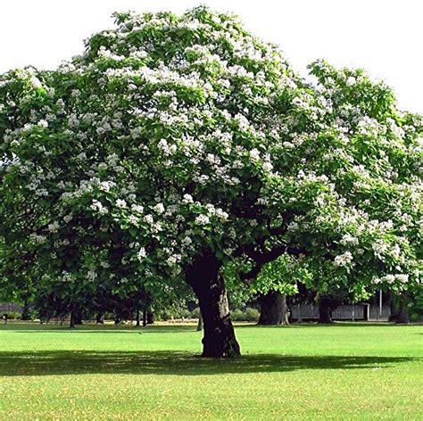 arbre canapas s 45 59 catalpa de l ouest arboretum gabrielis