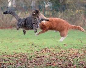 fighting cat cats fighting animals