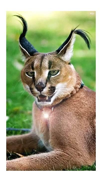Caracal Lynx Amazing Gifs Animals Karakal Wild