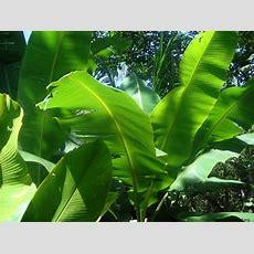 Hojas De Banano Newhairstylesformen2014com