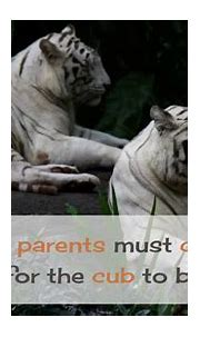 18 Facts You Must Know About White Tiger - YouTube