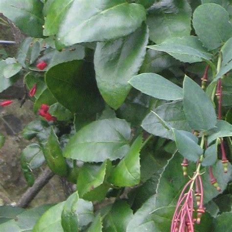 plante grimpante persistante en pot