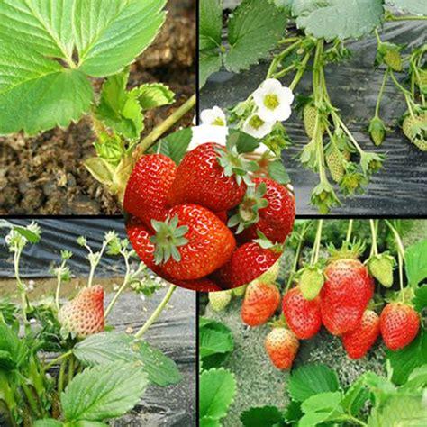 Red 100pcs Strawberry Climbing Strawberry Fruit Plant