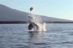 Watch  Orca Launches Sea Turtle High Up Into The Air