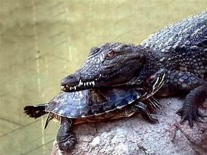 Reptiles wallpapers, frogs backgrounds, crocodiles desktops