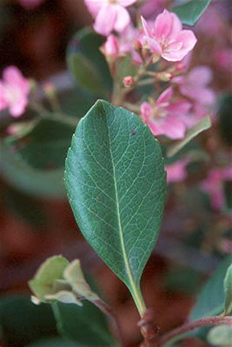 rhaphiolepis indica pink lady landscape plants