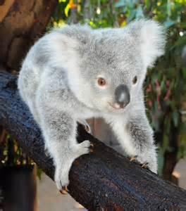 Australia Zoo Koala Bear