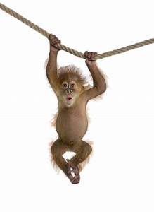 Monkey PNG Transparent Free Images | PNG Only