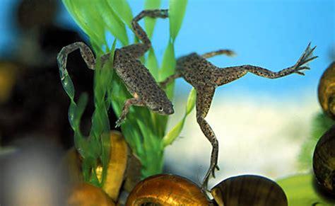les grenouilles d aquarium esp 232 ces maintenance alimentation animogen
